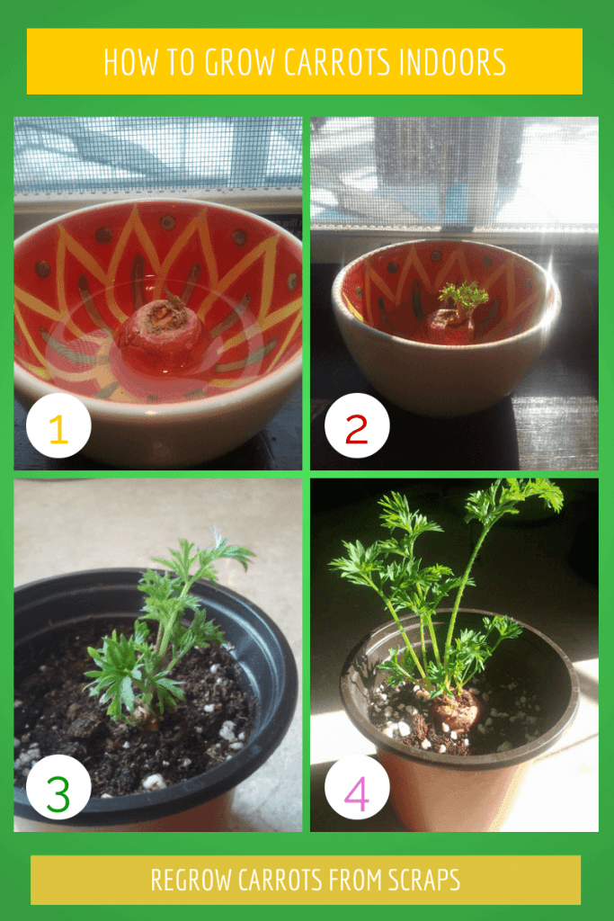 Learn how to re-grow a carrot indoor. It's a simple and fun way to re-grow your carrots and grow a carrot top.