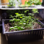 Dollar Tree Herb Garden Starter Kit
