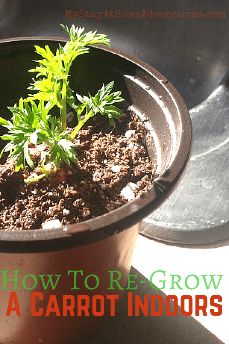 How To Re-Grow A Carrot Indoors - Learn How To Re-Grow A Carrot Indoors. It's a simple and fun way to re-grow your carrots and grow a carrot top.