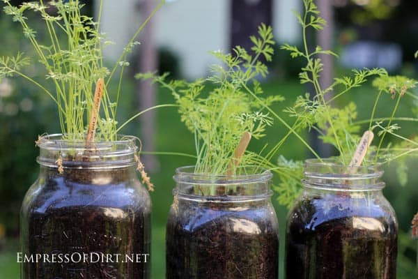 Carrots-in-Jars-close