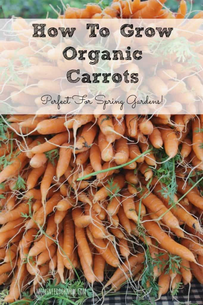 How-To-Grow-Organic-Carrots-in-Your-Spring-Garden-682x1024