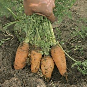kg24-carrots-02_lg
