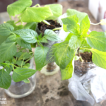 DIY Self-Watering Plastic Bottle Seed Starter