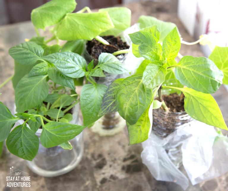 DIY Self-Watering Plastic Bottle Seed Starter