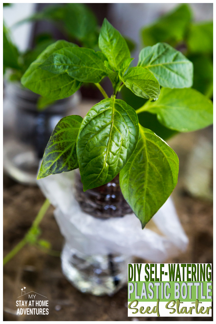 Check out this awesome DIY Self-Watering Plastic Bottle Seed Starter you can do with your kids! A step by step guide showing you how to create a self-watering seed starter using plastic water bottles. The good news is that they do work! via @mystayathome