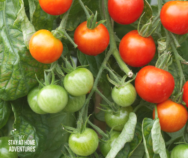 How to Grow Tomatoes from Seed (A Beginner Gardener Guide)