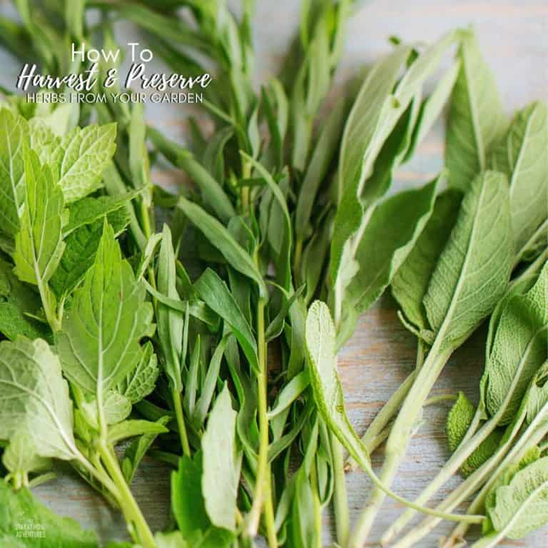 How to Harvest and Preserve Herbs from Your Gardens