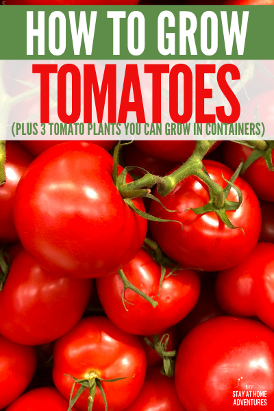 It is important to understand how to grow tomatoes from seeds. Learn step by step guide and what three tomato varieties to grow in container gardens.  via @mystayathome