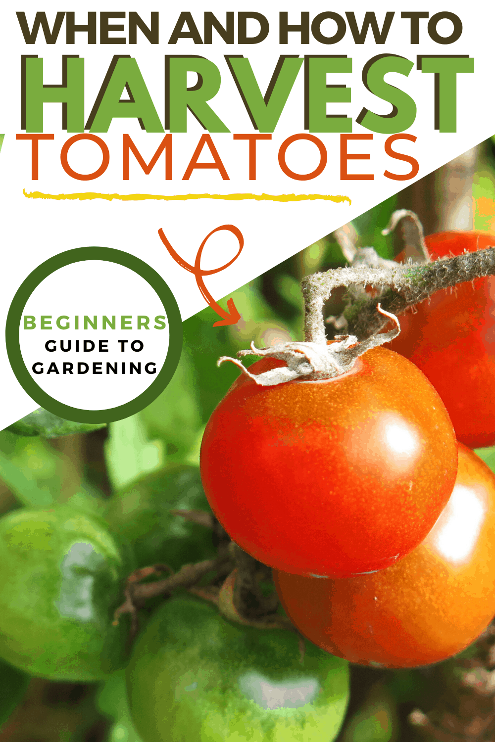 You have planted your tomatoes now it is time to harvest them. As a new gardener, there are important things you should know about harvesting tomatoes. #harvesting #gardening #tomatoes #Gardeningtips #harvest via @mystayathome