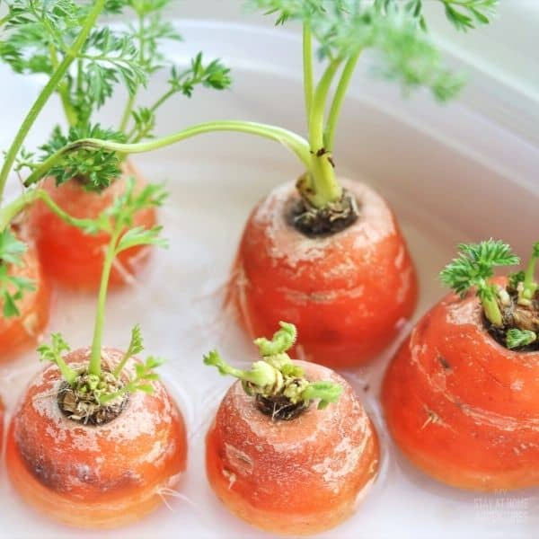 How To Regrow Carrot Scraps (Carrot Tops)