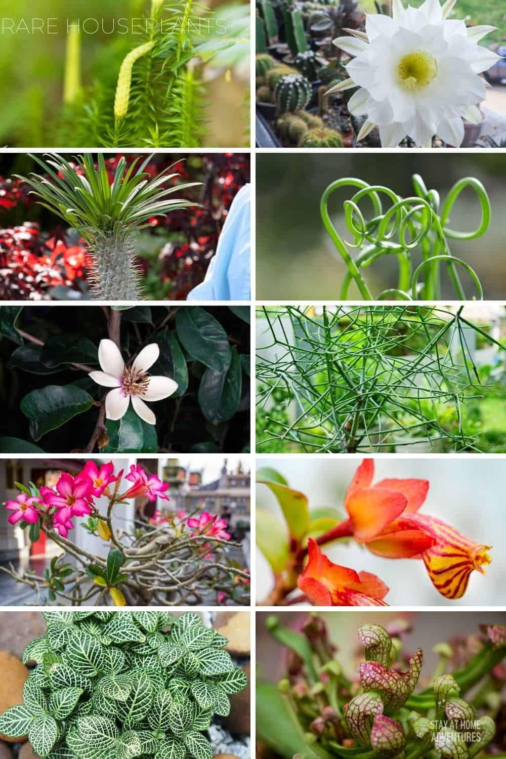 Learn all you need to know about rare houseplants, from what are they, what's the most expensive to what are the top rare houseplants around. via @mystayathome