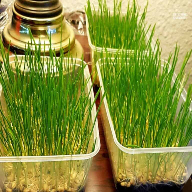 How to Grow Wheatgrass in Your Home