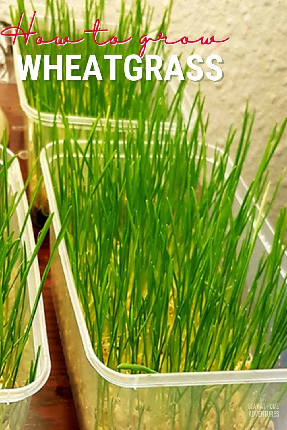 Growing wheatgrass is popular for its juice because of the health benefits from it. We'll talk about How to Grow Wheatgrass in your Home, and a bit more. via @mystayathome